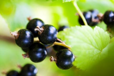 AHDB Uses Iteris ClearAg to Develop Interactive Blackcurrant Pest Tool