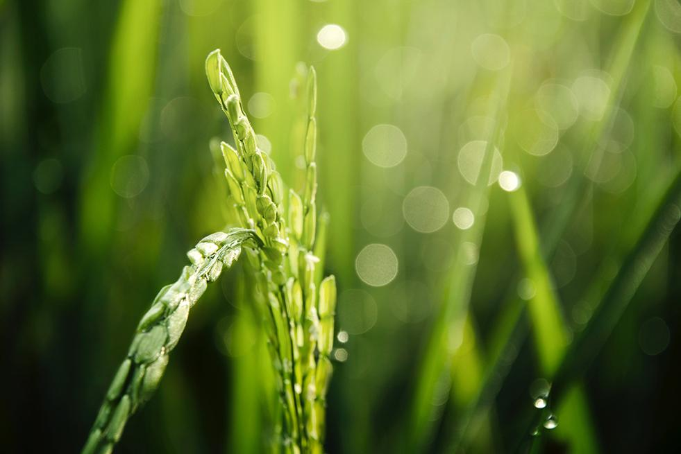 Iteris ClearAg Chosen by RiceTec for Advanced Proprietary Rice Model Development